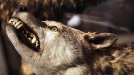 649167-siberian-wolves[1]
