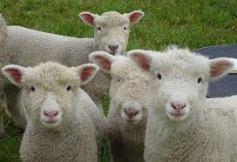 sheep1