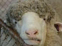 sheephead
