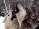 Wolves%20howl[1]
